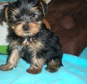 Good Male and Females , .Yorkshire Terrier Puppies for Sale.