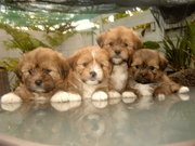 Adorable Shiztsu,  Llasa Apso,  Pomeranian Mix Puppies