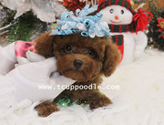 Teacup poodle #127 perfect conditions