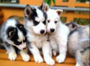 Siberian husky puppies for re homing